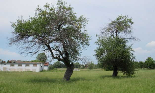 Old apple trees clue to forgotten history