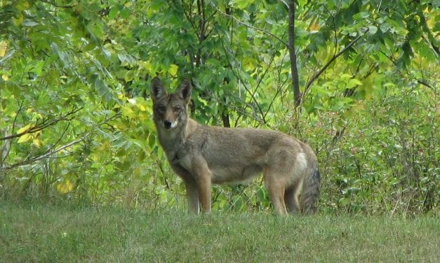 Coyote awareness becoming increasingly important