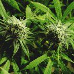 Markham passes new cannabis bylaw