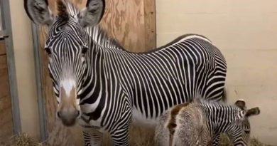 Endangered zebra gives birth to a healthy foal
