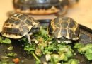Endangered Madagascar spider tortoises hatched at Toronto Zoo