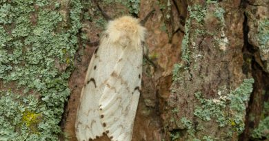 Yard trees need help against invasive Gypsy Moth