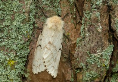 Yard trees need help against invasive Gypsy Moth